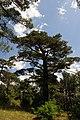 Pinus brutia, Findikli 0.jpg