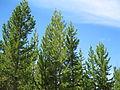 Pinus contorta subsp latifolia Thermopolis Wyoming.jpg