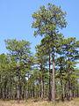 Pinus palustris Kisatchie NF.jpg