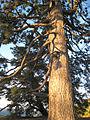 Pinus ponderosa Big Sur.jpg