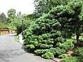 Pinus strobus radiata - Gardenology.org-IMG 0695 bbg09.jpg
