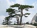 Pinus tabuliformis Hua Shan3.jpg