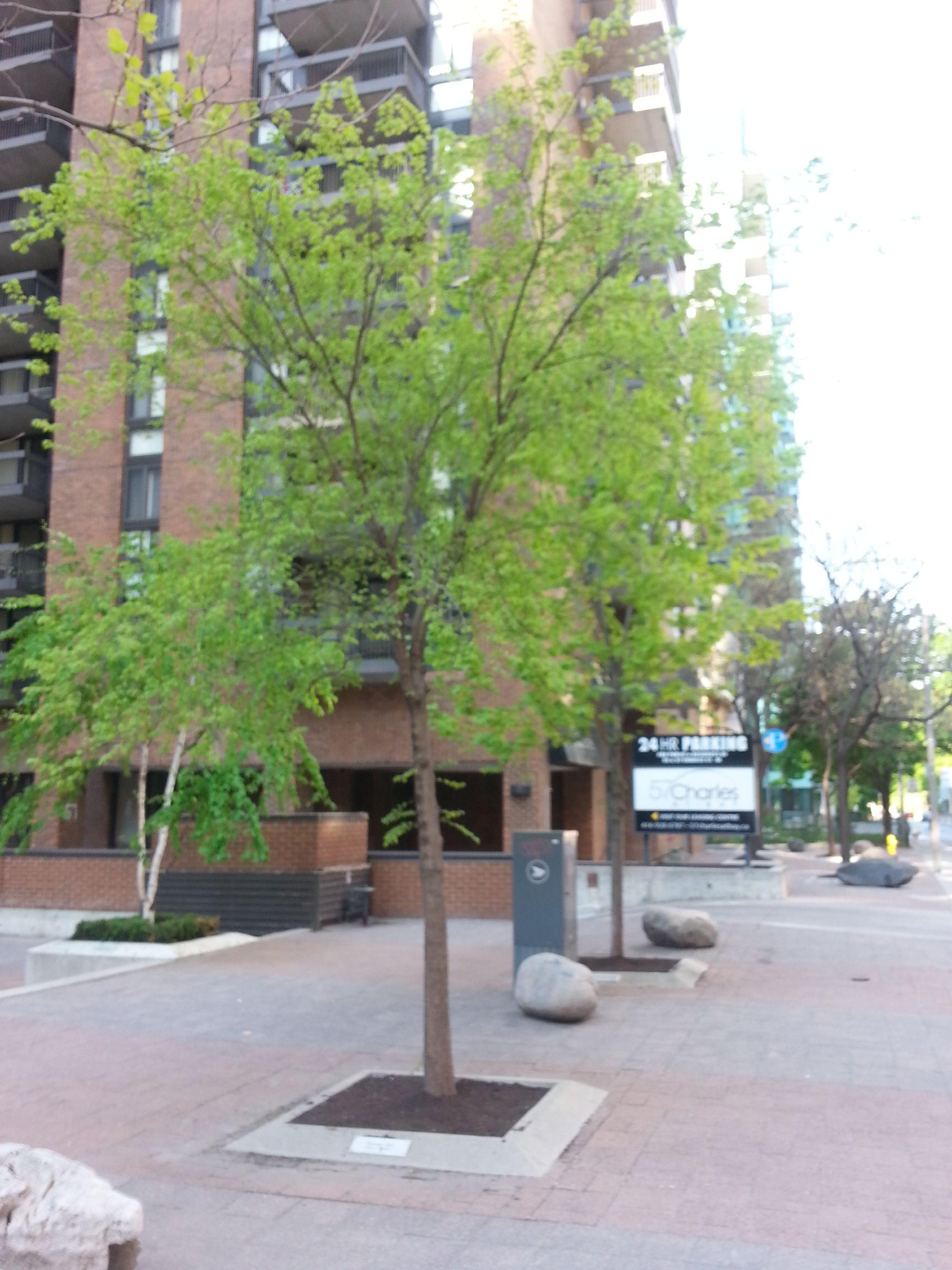 File:Pioneer Elm in Toronto jpg - Wikimedia Commons