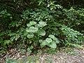 Piper umbellatum L. (31164376411).jpg