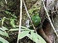 Pipreola chlorolepidota - Fiery-throated Fruiteater - female (cropped).jpg