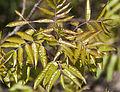 Pistacia terebinthus - Terebinth - Menengiç.jpg