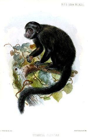 Black bearded saki - Image: Pithecia Satanas Wolf