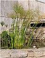 Plant Papyrus.jpg