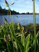 Plantago lanceolata-3.jpg