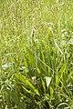 Plantago lanceolata (Plantain lancéolé).jpg