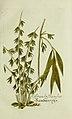 Plantarum indigenarum et exoticarum icones ad vivum coloratae, oder, Sammlung nach der Natur gemalter Abbildungen inn- und ausländlischer Pflanzen, für Liebhaber und Beflissene der Botanik (15902604278).jpg