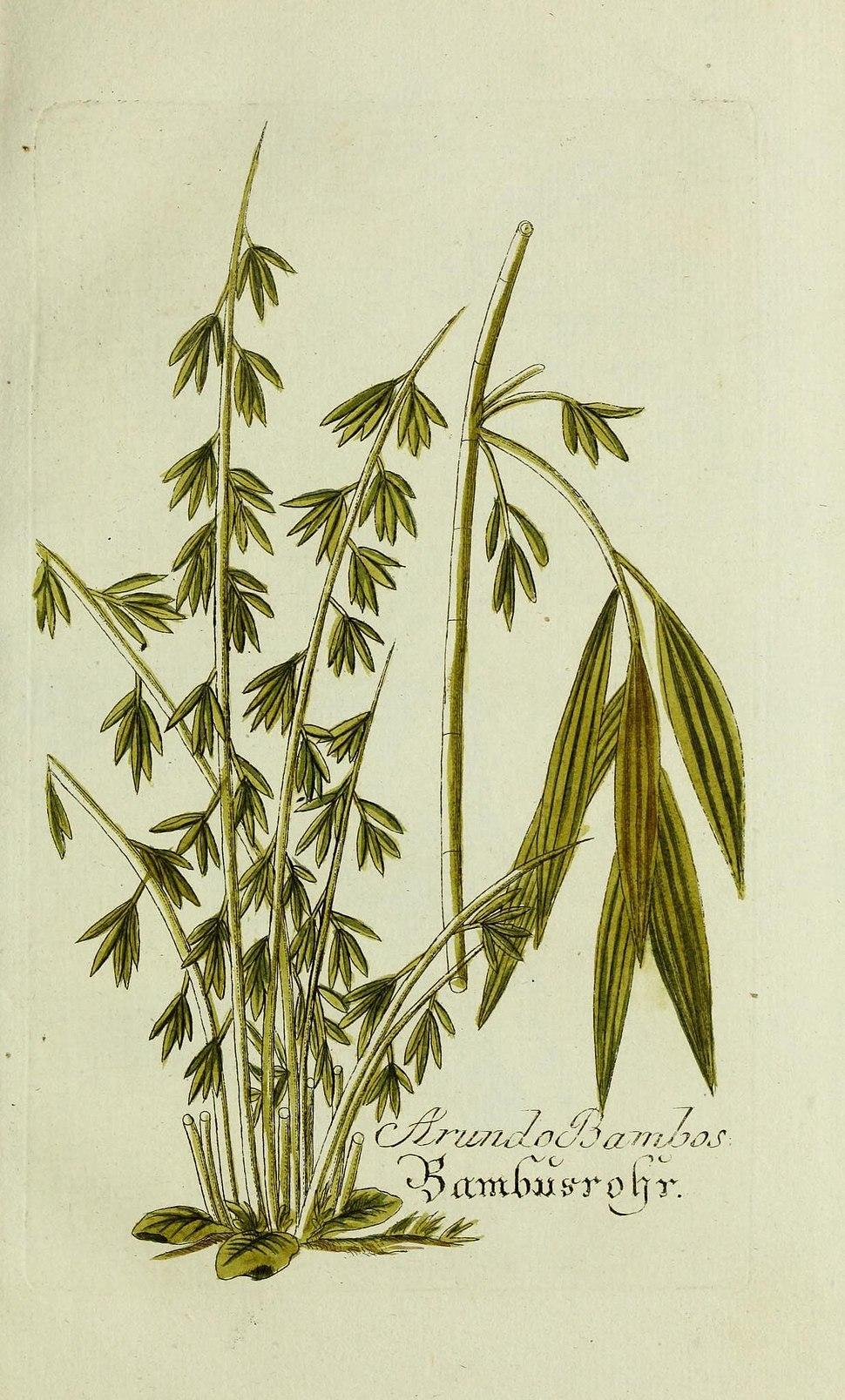Plantarum indigenarum et exoticarum icones ad vivum coloratae, oder, Sammlung nach der Natur gemalter Abbildungen inn- und ausl%C3%A4ndlischer Pflanzen, f%C3%BCr Liebhaber und Beflissene der Botanik (15902604278)