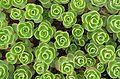 Plante Grasse unkn FR 201.jpg