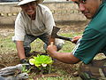 Planting Brighamia at Kalaupapa National Historical park.jpg