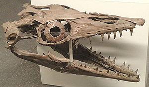 Platecarpus - Skull in Naturmuseum Senckenberg