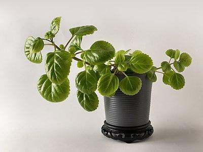 Plectranthus verticillatus in a ceramic pot.