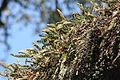 Pleopeltis polypodioides Cumberland Island 1.jpg
