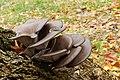 Pleurotus ostreatus (33071996905).jpg