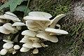 Pleurotus sp. (44031822295).jpg