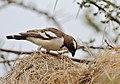 Plocepasser mahali -Samburu National Reserve, Kenya-8 (1).jpg
