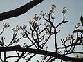 Plumeria tree.JPG