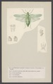 Pneumora - Print - Iconographia Zoologica - Special Collections University of Amsterdam - UBAINV0274 004 03 0024.tif
