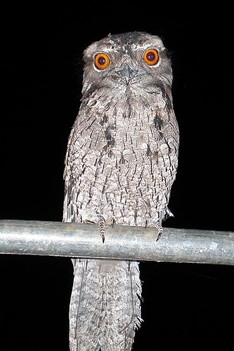 Andrew Johnston Big Scrub Nature Reserve - Marbled frogmouth