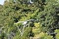 Point Pelee National Park seagull, September 2017.jpg