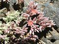 Polycarpaea tenuis Tenerife 2.jpg