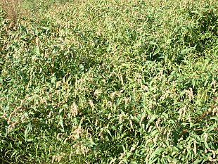 Polygonum persicaria fields.jpg