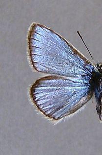 <i>Polyommatus eros</i> species of insect