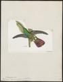 Polytmus veraguensis - 1820-1860 - Print - Iconographia Zoologica - Special Collections University of Amsterdam - UBA01 IZ19100049.tif