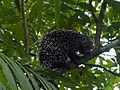 Porcupine in tree.jpg