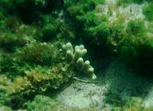 Porites porites French Bay.jpg