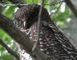 Powerful Owl mt coottha.JPG