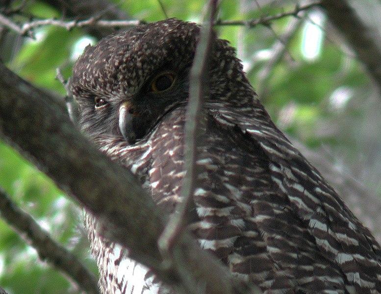 Ficheiro:Powerful Owl mt coottha.JPG
