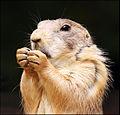 Prairie Dog closeup.jpg