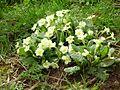 Primroses (Primula vulgaris) - geograph.org.uk - 159603.jpg