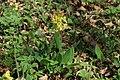 Primula veris in natural monument Kalamandra in spring 2012 (3).JPG