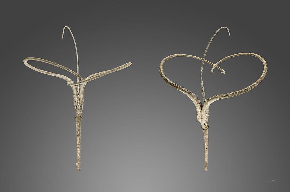 Proboscidea althaeifolia MHNT