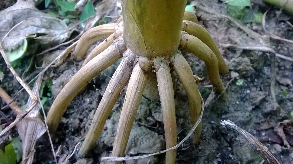 Prop roots of Maize plant
