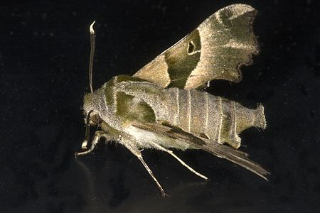 Proserpinus proserpina03(js), Lodz(Poland).jpg