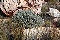Protea pendula tonyrebelo inat10874384b.jpg