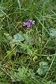 Prunella grandiflora in national natural monument U Hajnice in 2011 (2).JPG