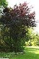 Prunus cerasifera Thundercloud 10zz.jpg