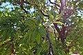 Prunus dulcis kz06.jpg