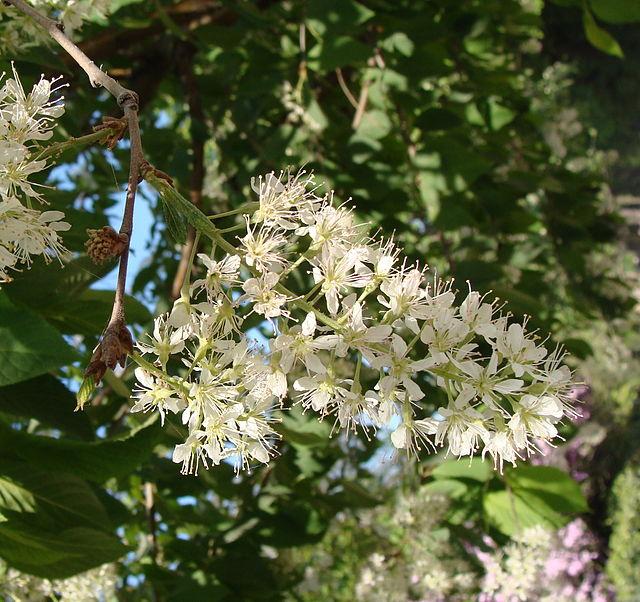 fleurs du cerisier de mandchourie