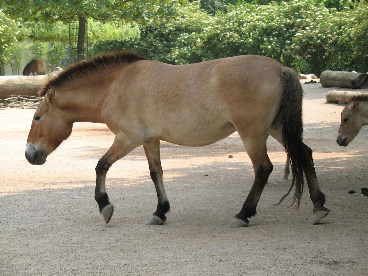 Equus ferus przewalskii - Wikipedia, la enciclopedia libre