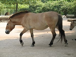 Primitive markings - Przewalski's horse is thought to be similar in appearance to ancestors of today's domestic horses.