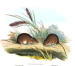 Pseudomys gouldii - Gould.jpg